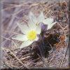 pasque flower at Honey Creek